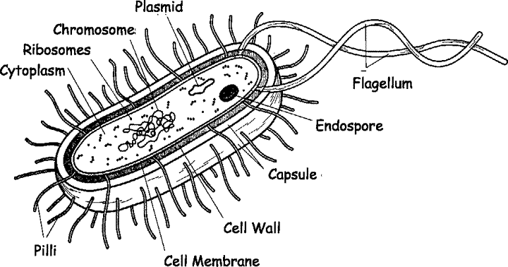 Form five biology topic 1 cytology sisi na elimu a well labelled diagram of a bacterial cell ccuart Image collections