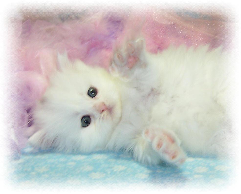Free wallpapers white kitten wallpapers - Free wallpaper of kittens ...