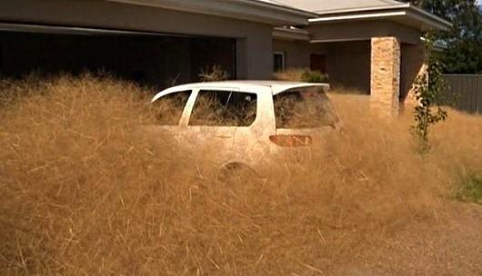 extraña hierba peluda invasion