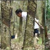 Harga Karet Tak Kunjung Membaik, Emak-Emak Sindir Jokowi Foto di Kebun Karet