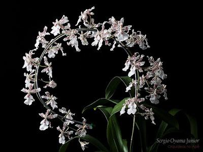 Orquídea Oncidium Speckled Spire 'Snowflake'