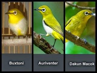 Perbedaan Auri dan Buxtoni