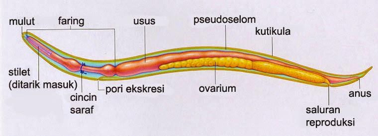 Alat reproduksi nemathelminthes - oraoazis.hu