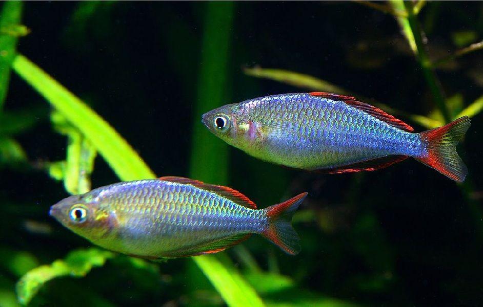 Harga Ikan Rainbow