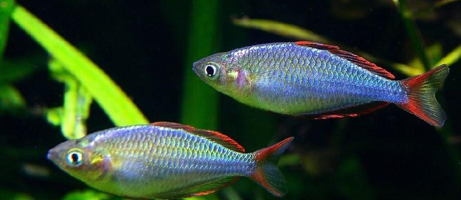 Kisaran Harga Ikan Rainbow Sekarang Ini