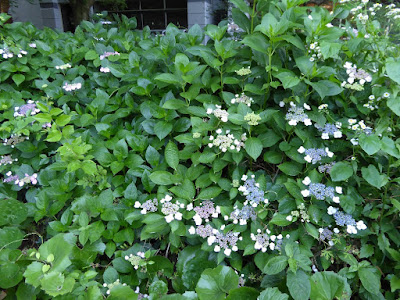 靭公園(うつぼこうえん) 紫陽花