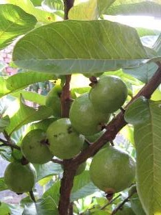 an image showing guavas on a tree
