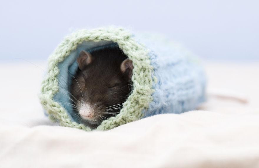 cute-pet-rats-16