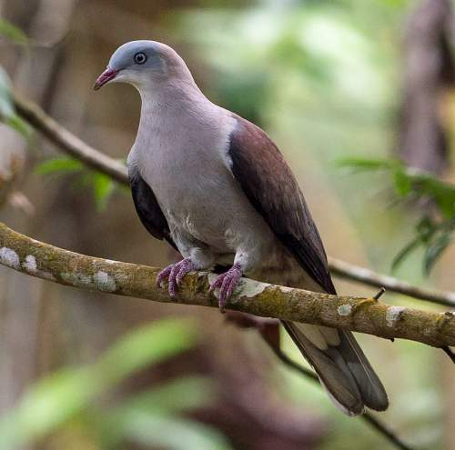 Indian birds - Photo of Mountain imperial pigeon - Ducula badia