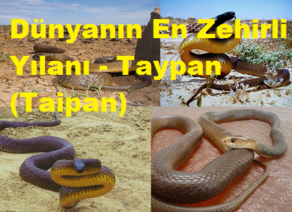 Dünyanın En Zehirli Yılanı - Taypan (Taipan)