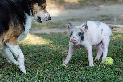Svinje su rezervoar Aujeckijeve bolesti
