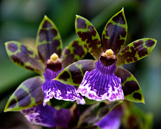 Grow and care Zygopetalum orchid