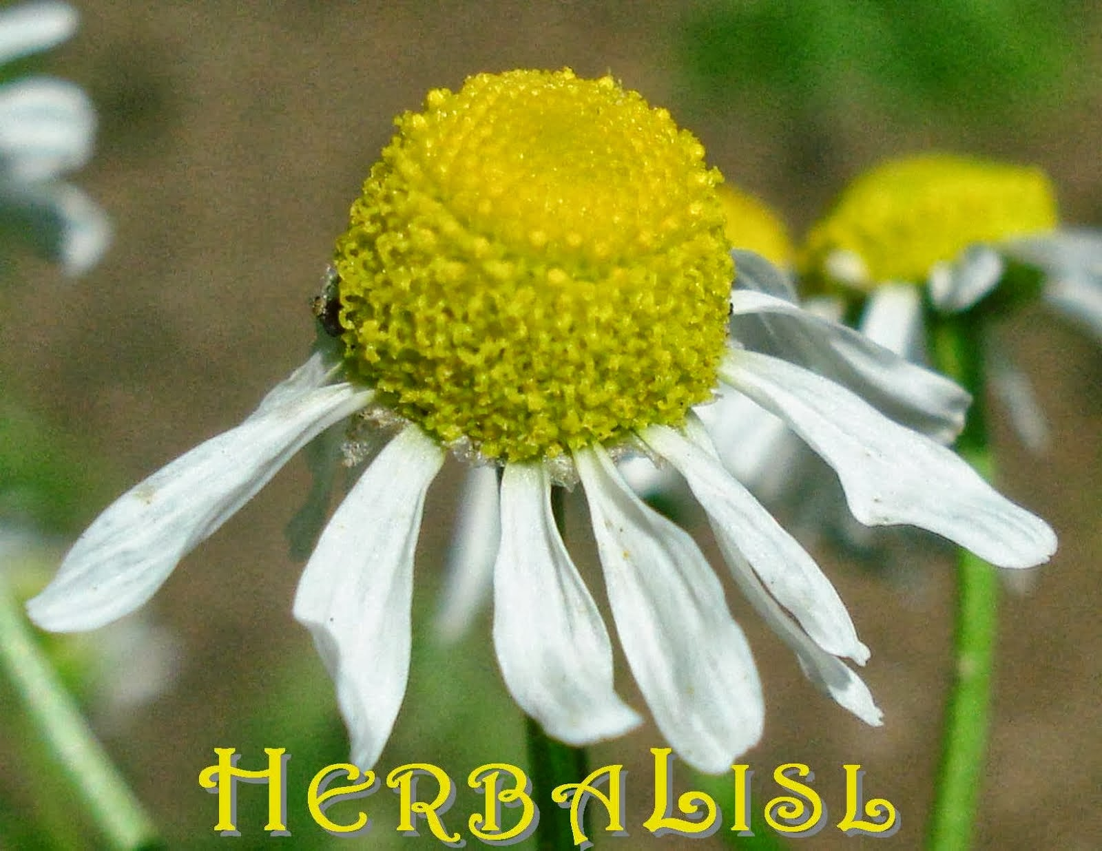 "Visit HerbaLisl's Blog! ""The Essence of Herbs"""