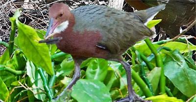 Dryolimnas cuvieri ,extinct bird