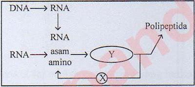Pembahasan soal un biologi sma paket 1 soal no 29 tahun pelajaran soal perhatikan diagram sintesis protein berikut bagian x dan proses y adalah a trna transkripsi b trna translasi c mrna transkripsi ccuart Image collections