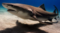 Giant Shark fish pictures_Prionace glauca