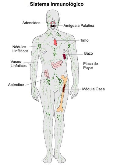 Organos Del Sistema Inmunologico Y Linfatico