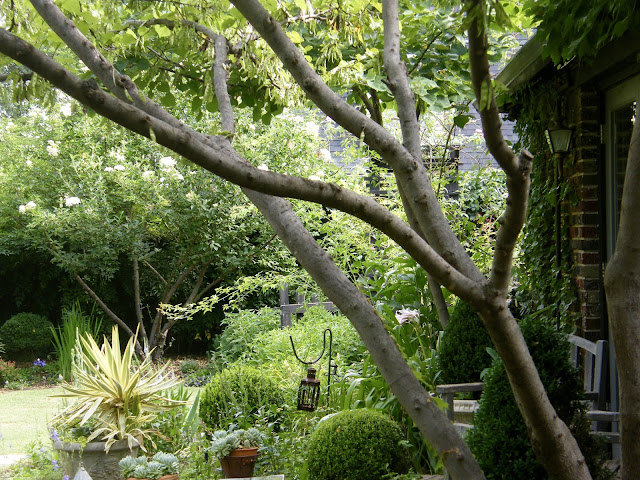 Looking through sculpted branches of redbud tree toward boxwood enclosed potager.