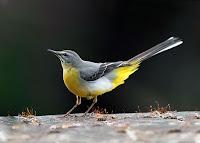 Kuyruğu havada olan bir kuyruksallayan kuşu