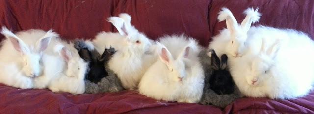 fuzzy vaughn s giant angora blog