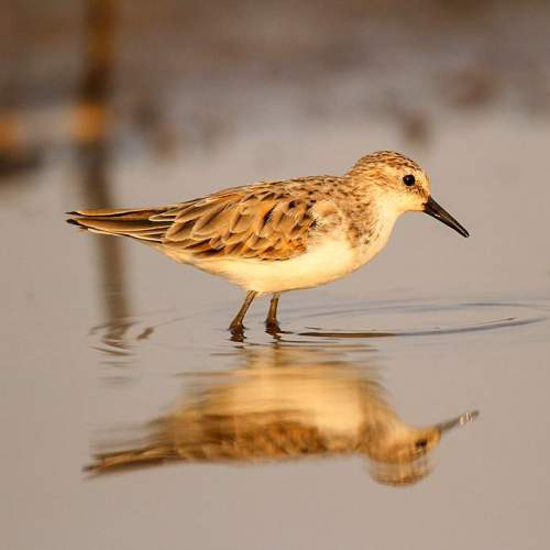 Image of Calidris minuta