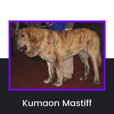 Kumaon Mastiff Dog