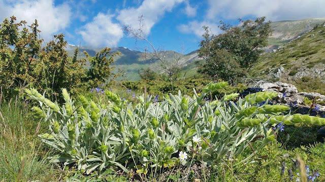 Mountain Tea - Lat: Sideritis Scardica