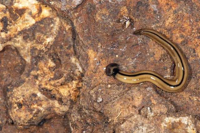 The Bizarre Hammerhead Worm Substrate Predator