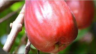gambar buah jambu bol