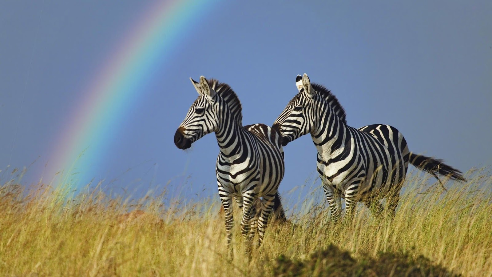 All Wallpapers: Zebra hd Wallpapers 2013
