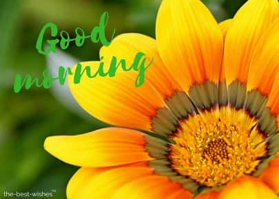 good morning with sunflower