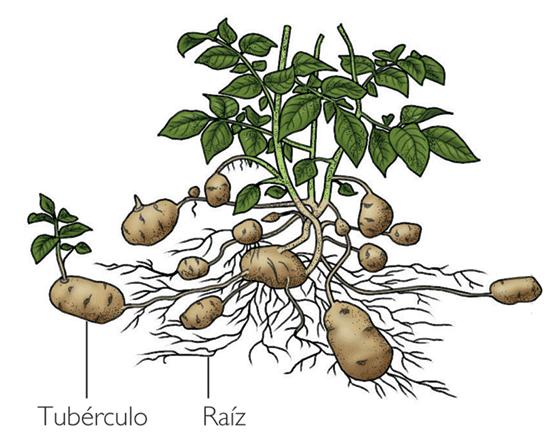 Reproduccion asexual en plantas ejemplos de sinonimos