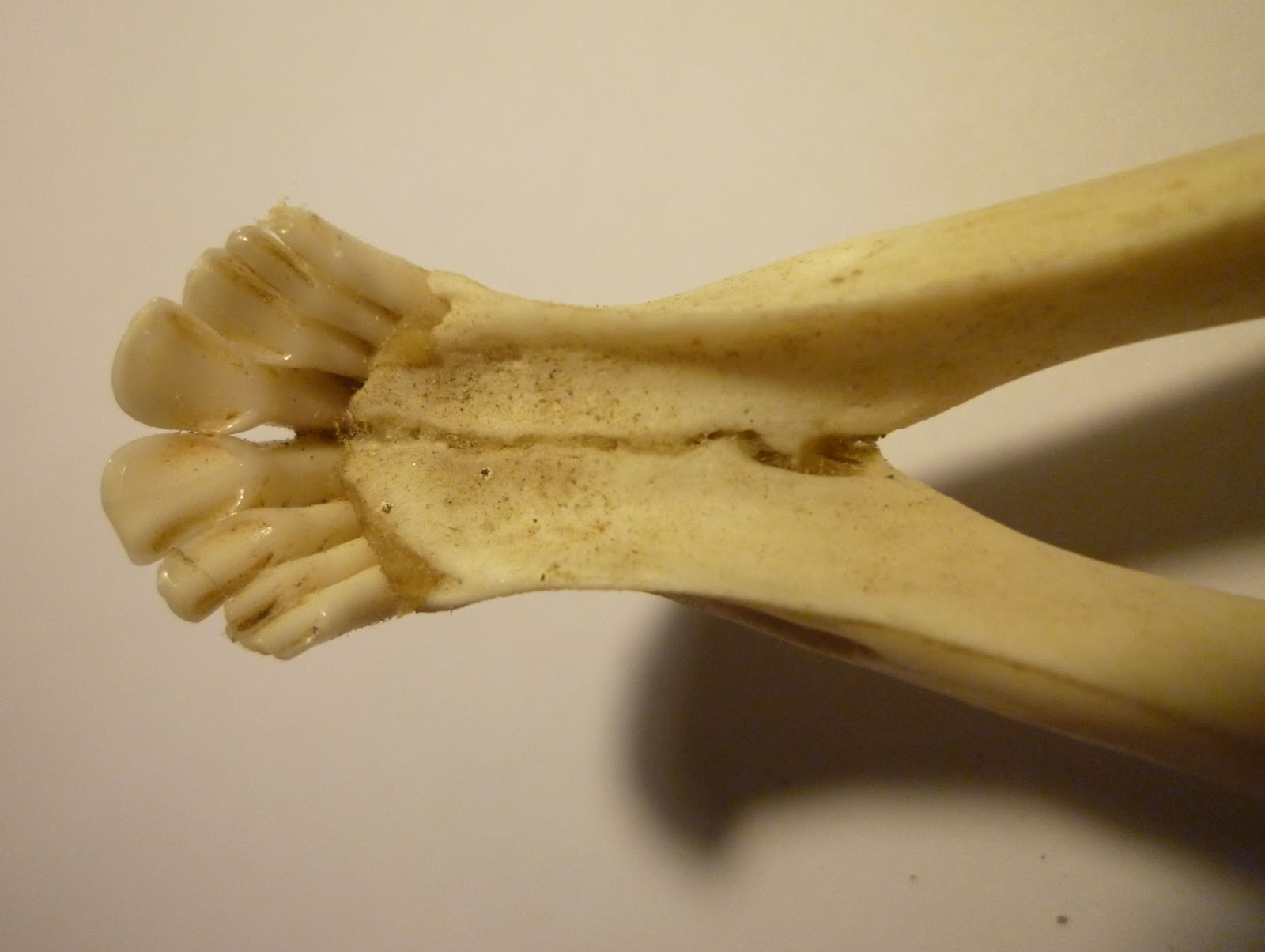 Image result for aging whitetail deer teeth