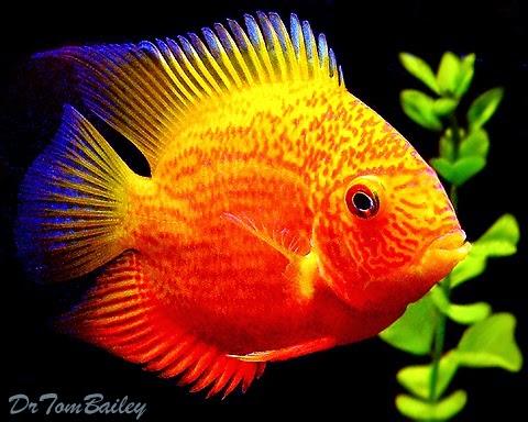 Nama-nama Warna Ikan Hias Cupang