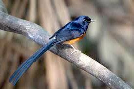 murai-medan www.burung45.blogspot.com