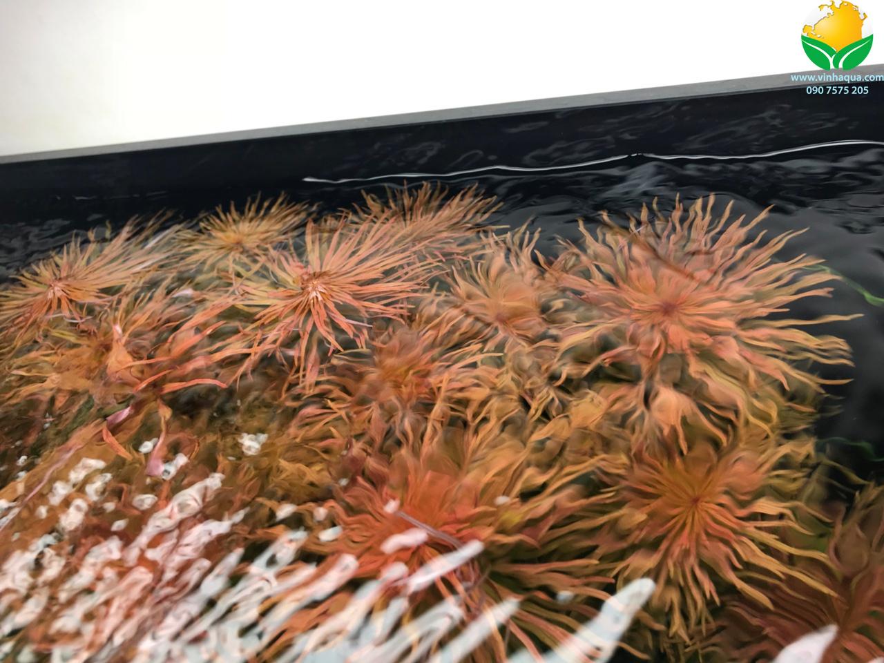 Cây hồng thái dương rực rỡ trong hồ thủy sinh ở tuần thứ 4