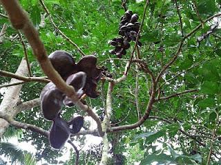 http://tipspetani.blogspot.com/2016/11/panduan-budidaya-tanaman-buah-manggis.html