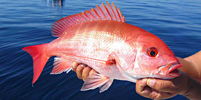 Red Snapper Health Benefits And Nutritions