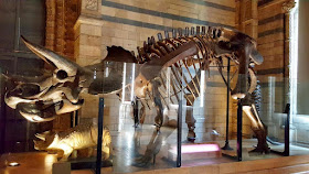 triceratops-musee-histoire-naturelle-londres