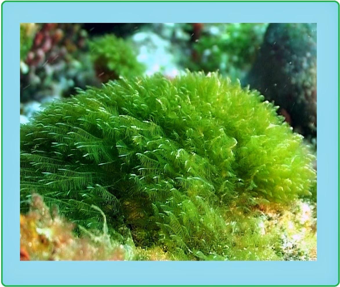 Rizoides al gas marinas para adelgazar