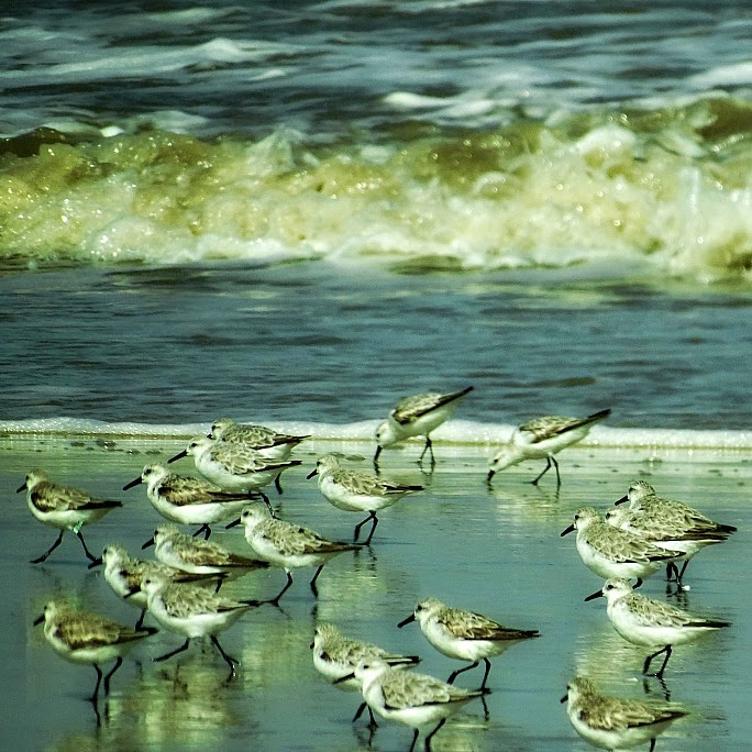 Maçaricos brancos procuram por minhocas - Parque Nacional da Lagoa do Peixe