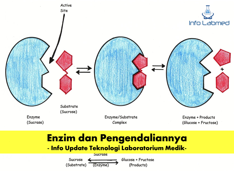 Enzim dan Pengendaliannya - Seri Edukasi Teknologi ...