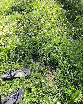 valkoiset apilat nurmikko flipflopit ja kalju läntti nurmikossa