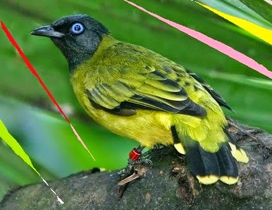 Meski termasuk ke dalam keluarga burung kutilang Perbedaan Burung Kutilang Sutra Jantan dan Betina
