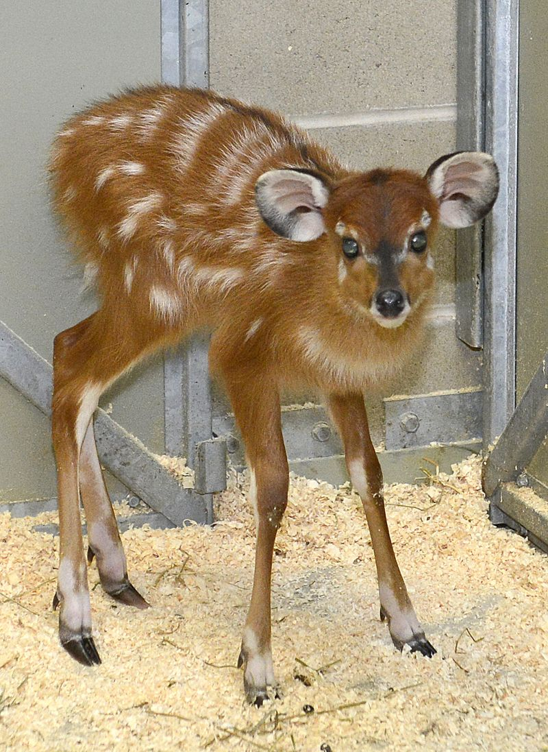 Baby Animals: Sitatunga Calf 3