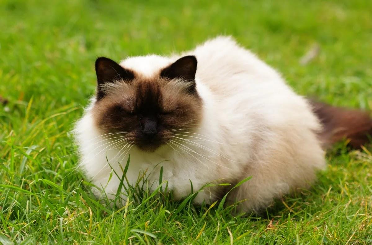 10 Jenis Kucing Paling Imut dan Lucu di Dunia