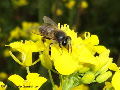 Apis cerana on canola