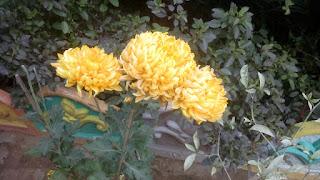 Common Peony Flower 2109