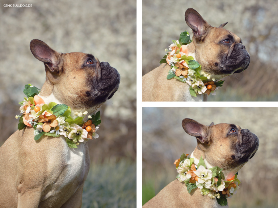 Hund Blumen, Blumenkranz, Blumenhalsband, Französische Bulldogge, Blümchen, Flower Sog Collar
