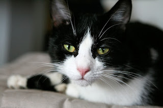 A close-up of a black and white cat